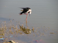 041215015750_black_wing_stilt_scratching