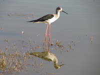 041215015836_black_wing_stilt