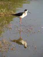 041215015924_black_wing_stilt