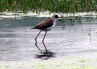 041225111208_black_wing_stilt_inpharatpur