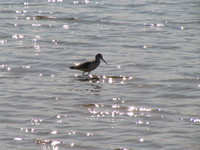 041227122750_black_wing_stilt_in_back_light_in_chambal_river