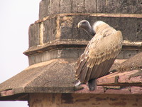 050103110022_white_backed_vulture_at_orcha_jehangir_mahal