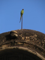 041221164454_parakeet_in_bundi_palace
