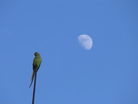 041221164536_parakeet_and_the_moon_in_bundi_palace