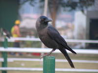050110163120_house_crow_near_indian_gate