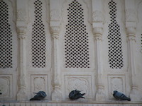 041209033746_three_pigeons_at_junagarh