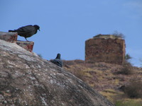 041221134046_pigeons_at_bundi_star_fort