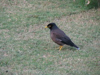 041130022624_common_myna_in_red_fort
