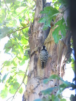 041202191810_woodpecker_at_dhikala