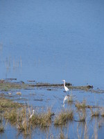 041202202312_egret_by_the_river_near_dhikala
