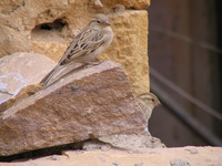 041210235430_long_tail_sparrow_at_jaisalmer