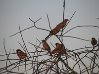 041213041038_sparrows_of_jaisalmer