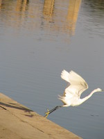 041215024438_egret_take_off