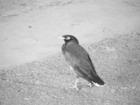 041220145832_limbing_common_myna_at_chittor_station