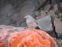 041222150958_jungle_babbler_in_ranthambhore_fort