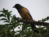 041222151050_indian_treepie_near_ranthambhore_fort