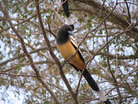041223151512_indian_treepie_at_ranthambhore