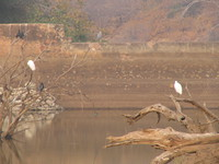 041223163642_night_and_day_egrets_at_ranthambhore