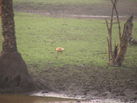 041223163918_ruddy_shelduck