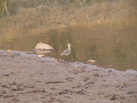 041223164028_night_egret_at_ranthambhore
