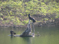 050106125740_little_cormorants