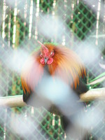 050106142054_red_jungle_fowl