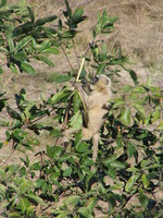 041202235936_black_faced_langur_at_corbett