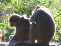 041203193140_monkeys_helping_eaching_other_in_dhikala