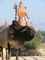 041206003558_cow_and_shiva