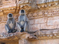 041219161532_black_faced_langur_at_chitto_ruin
