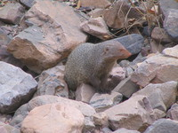 041223154222_ruddy_mongoose