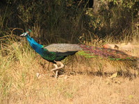 041230090304_peacock_at_kanha