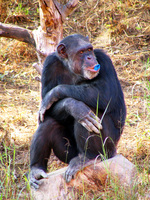 050106131832_chimpanzee_and_blue_bubble_gum