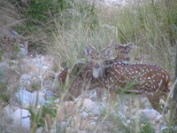 041202013404_two_spotted_deers