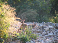 041202022912_spotted_deer_spotting_our_jeep