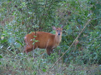 041203172638_curious_hog_deer