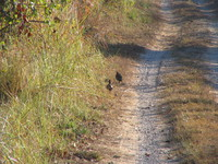 041203190514_jungle_pheasants