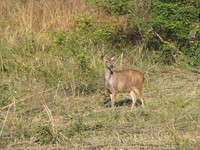 041203191628_female_sambar_deer