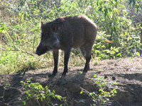 041203193038_skittish_wild_boar