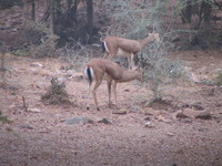 041223082426_two_antelopes_male_and_female