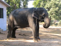 041229112050_chained_elephant