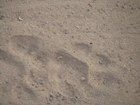 041229162306_tiger_footprints