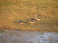 041229165802_wire_headed_geese