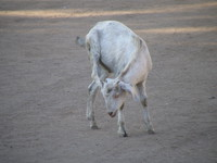 041230153944_goat_scratching_its_ear_at_kanha