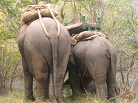 050101094704_behinds_of_the_asian_elephants