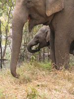 050101095418_baby_elephant_drinking_water