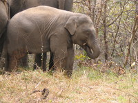 050101095534_baby_elephant_eats_its_own_nose