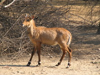 050106124528_male_nilgai