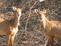 050106124554_indian_antelope_couple