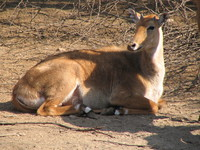 050106124634_male_nilgai